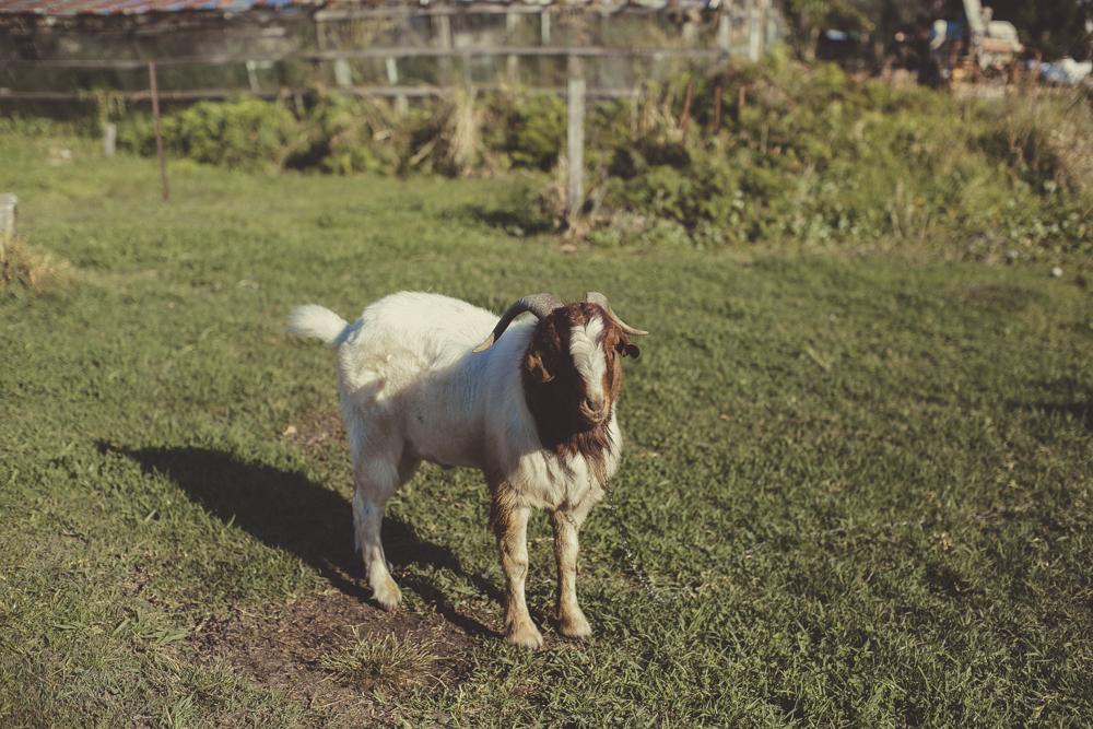 A friendly goat on set.