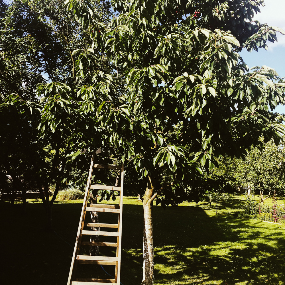 Picking cherries to eat from the backyard.