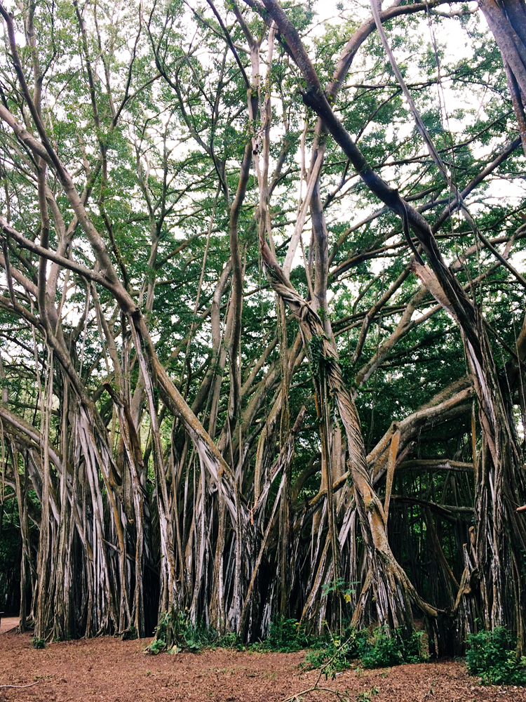 The majestic Banyan Trees at Turtle Bay Resort.