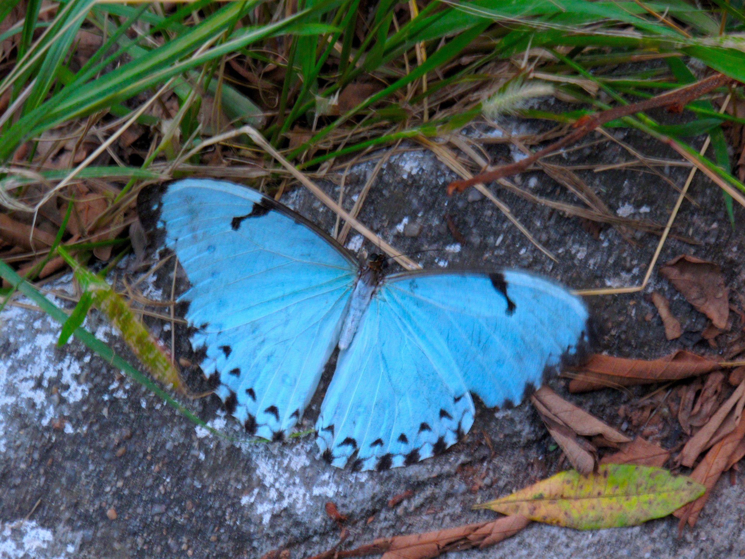 Sacred Blue butterfly.jpg