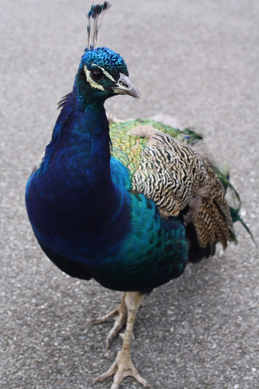 Johnstown-Castle-peacock_heatherbyhand.JPG