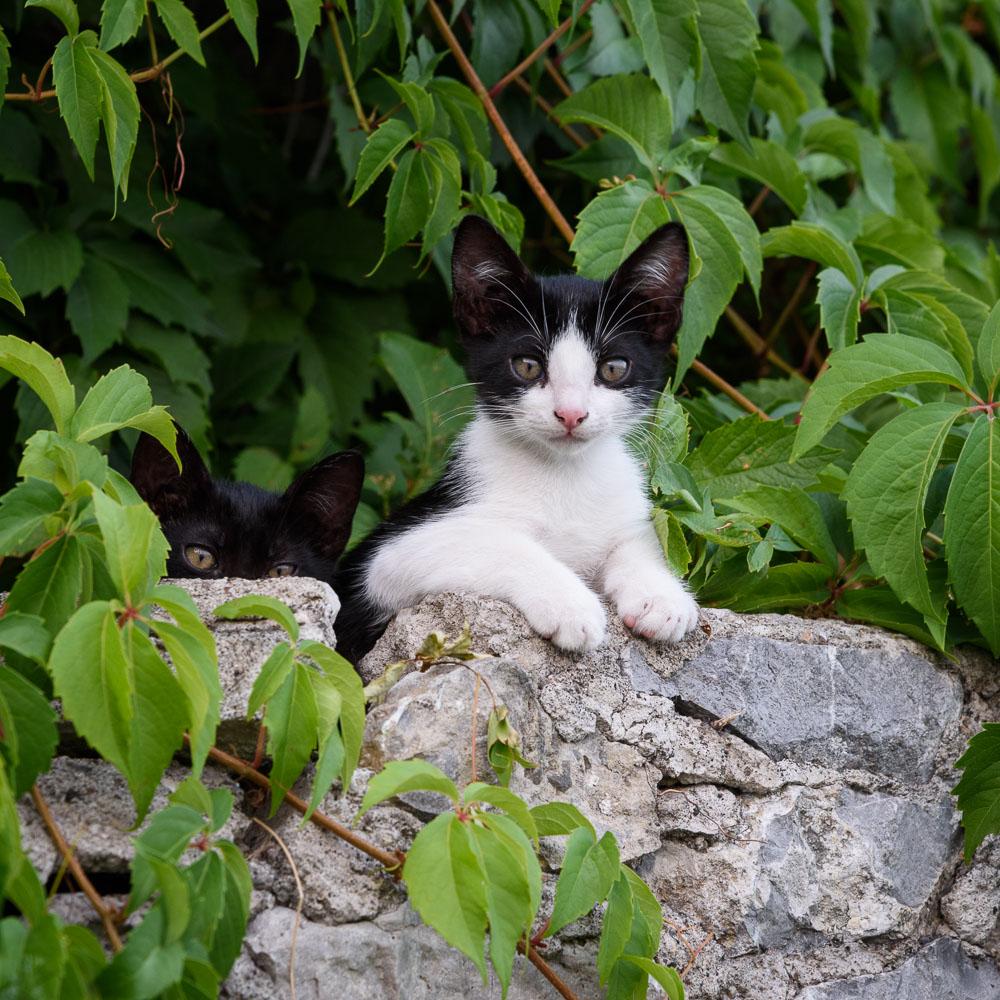 Amalfi Kittens