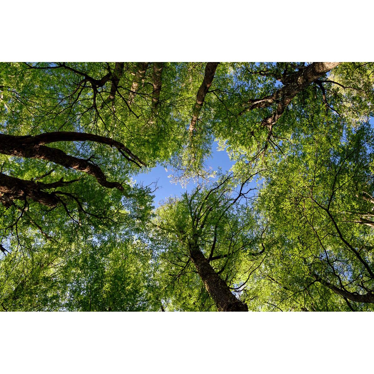 Patagonian Woods