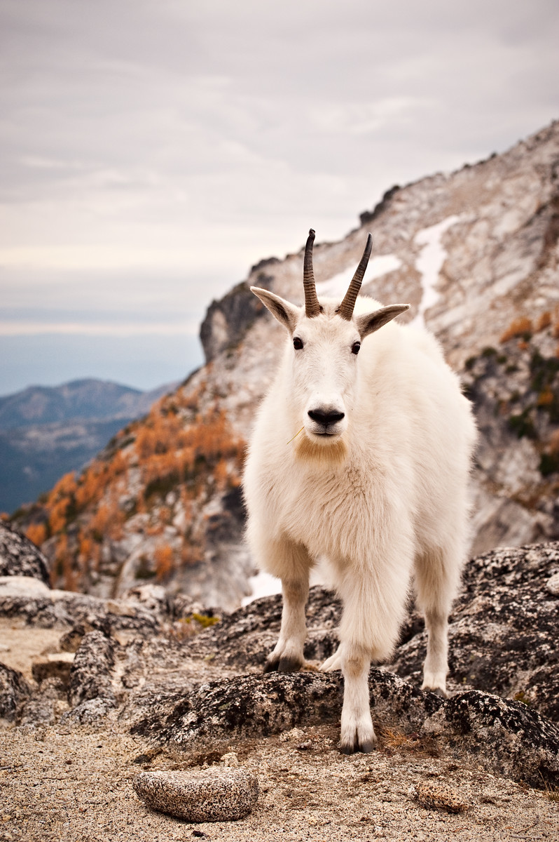 """Cascade Mountain Goat"""