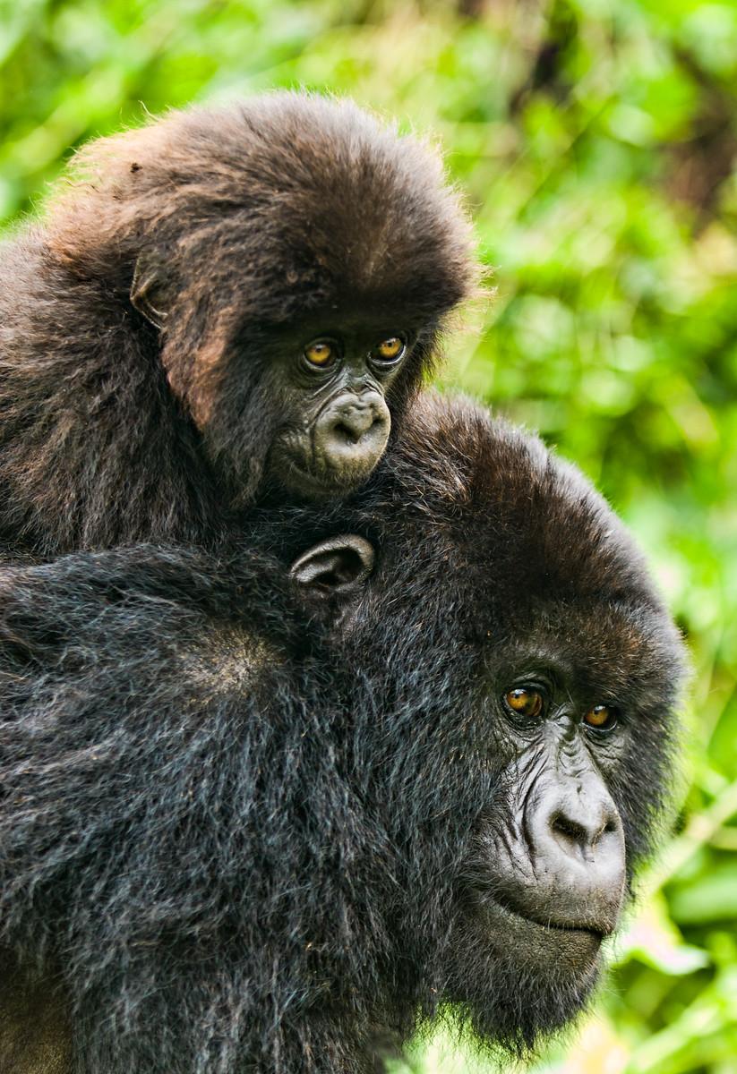 """""""Piggyback Gorilla"""""""