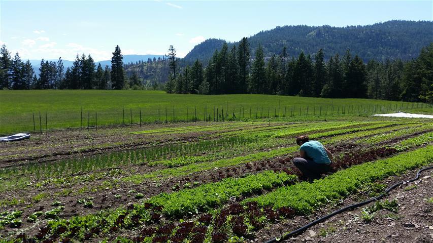 Farm helper Deb, weeding.