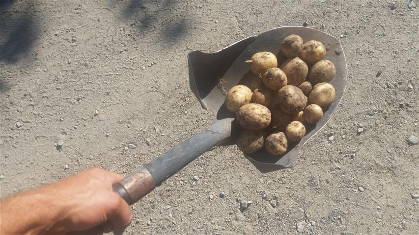 First potatoes of the season. Went straight into our bellies.