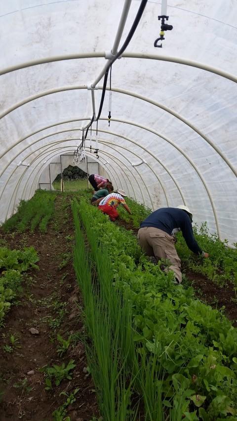 Many hands weeding carrots.