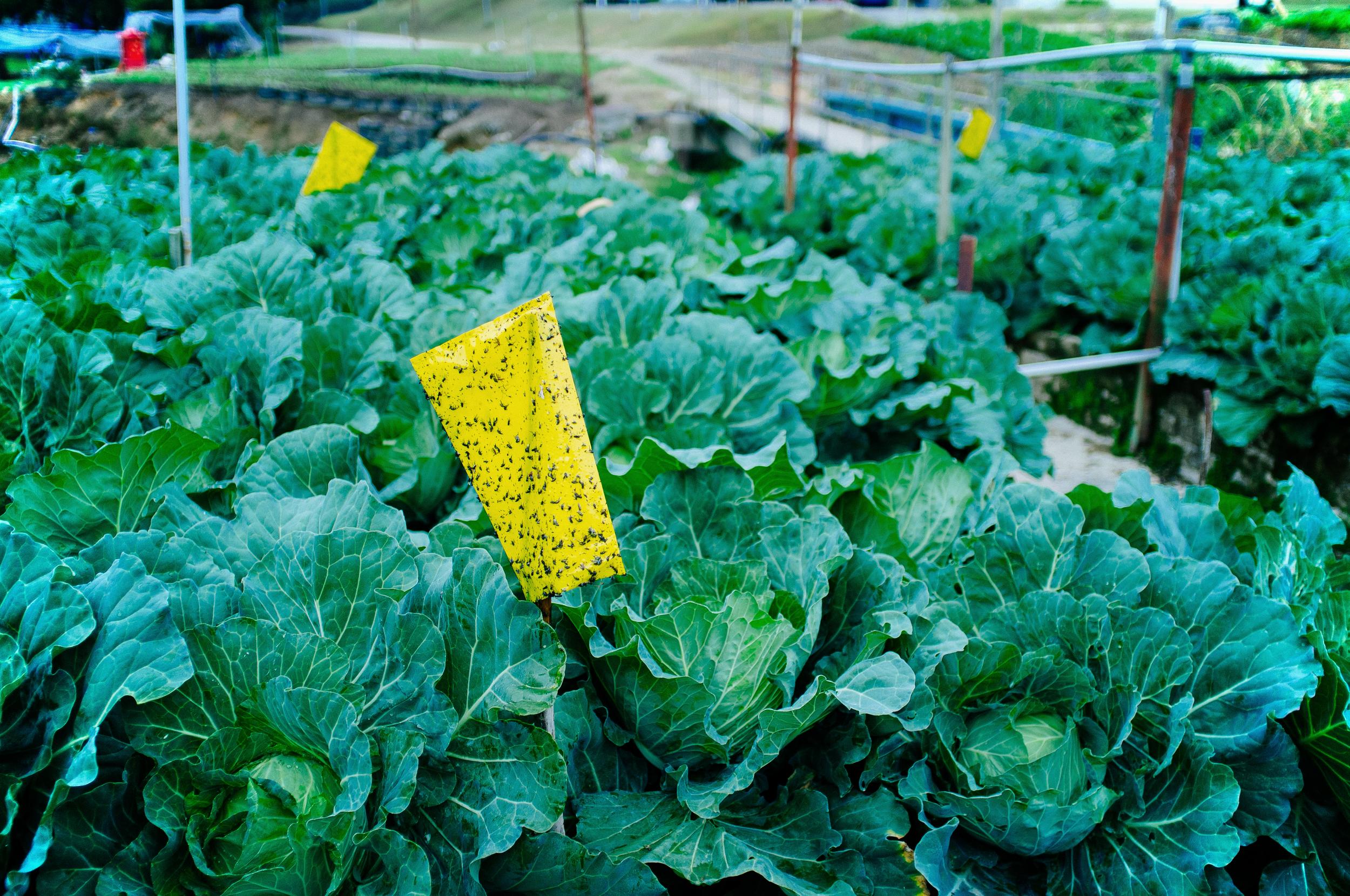 Cameron Highlands Cabbage.jpg