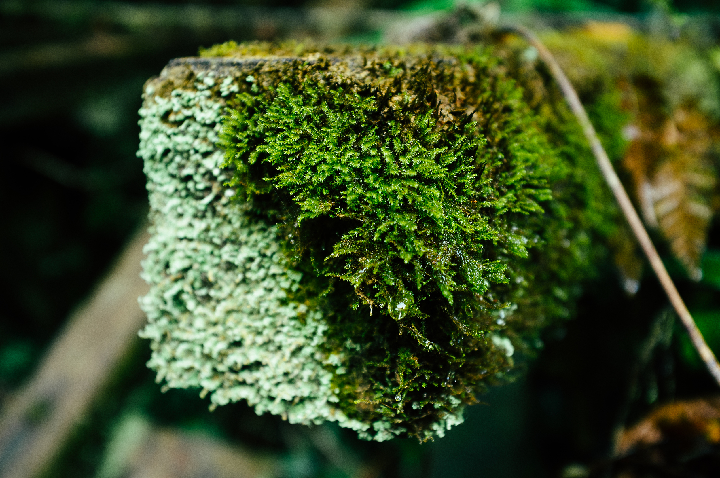 Cameron Highlands Mossy Log.jpg