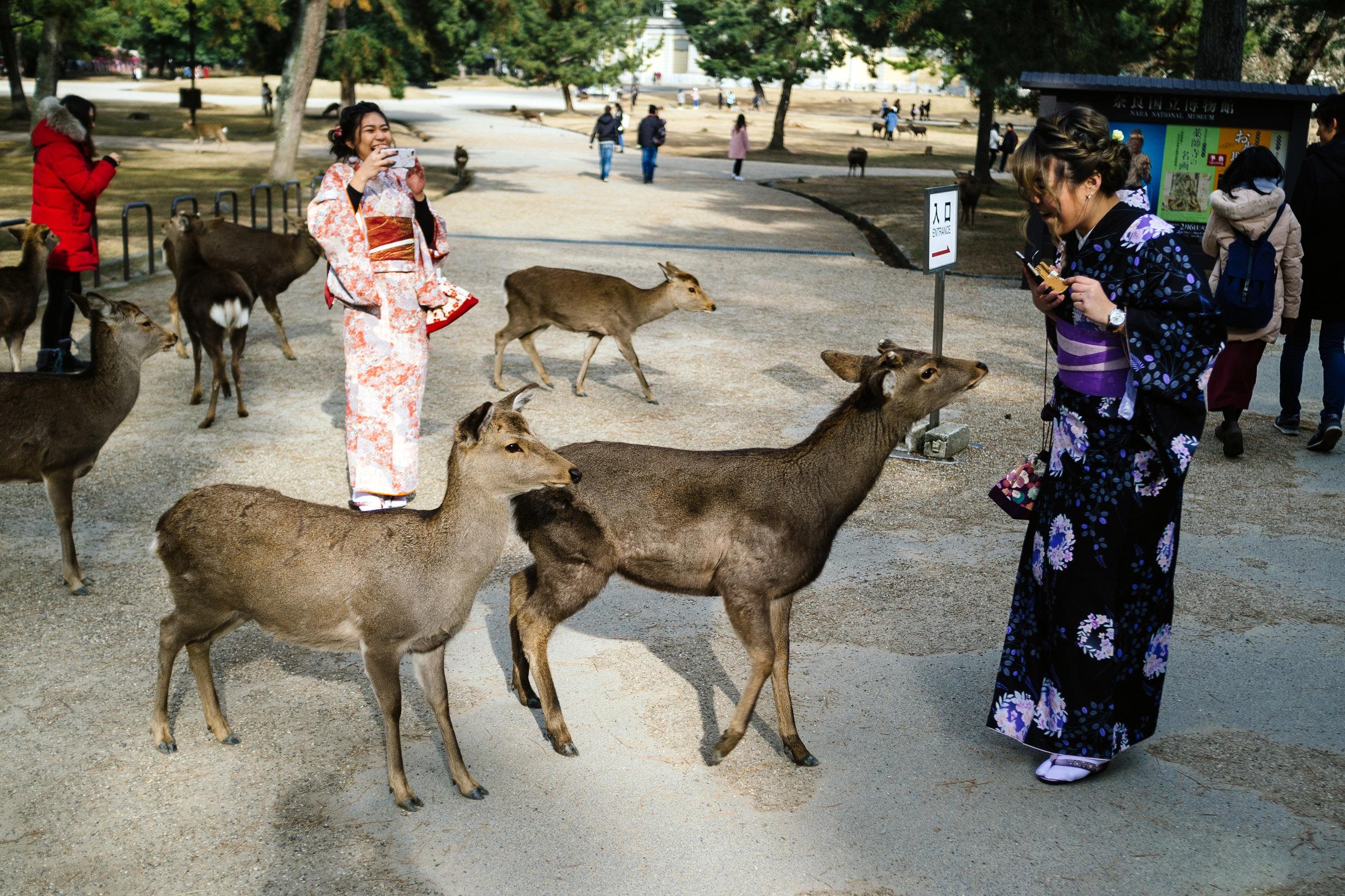 Nara Deer 2.jpg