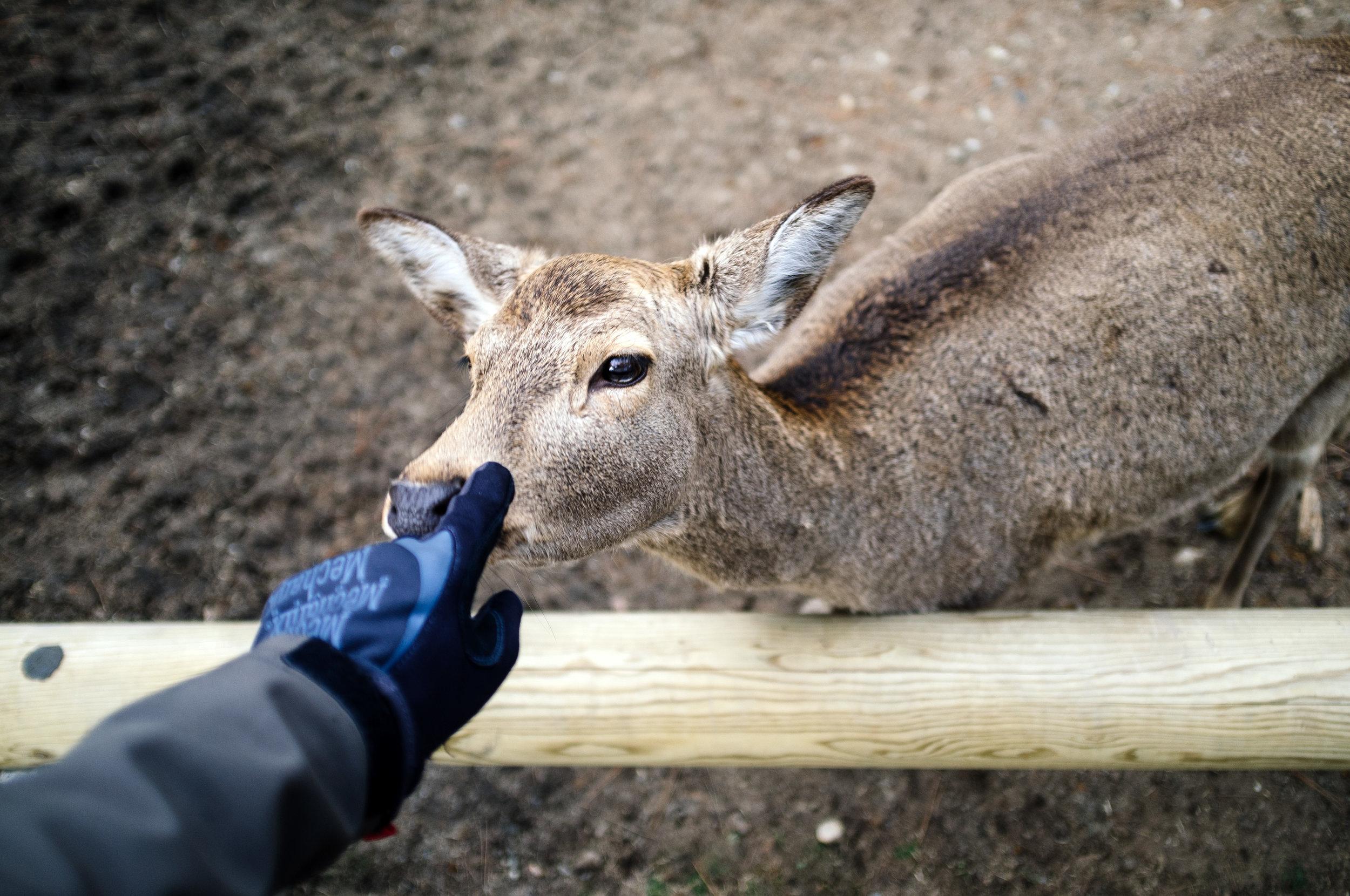 Nara Deer 1.jpg