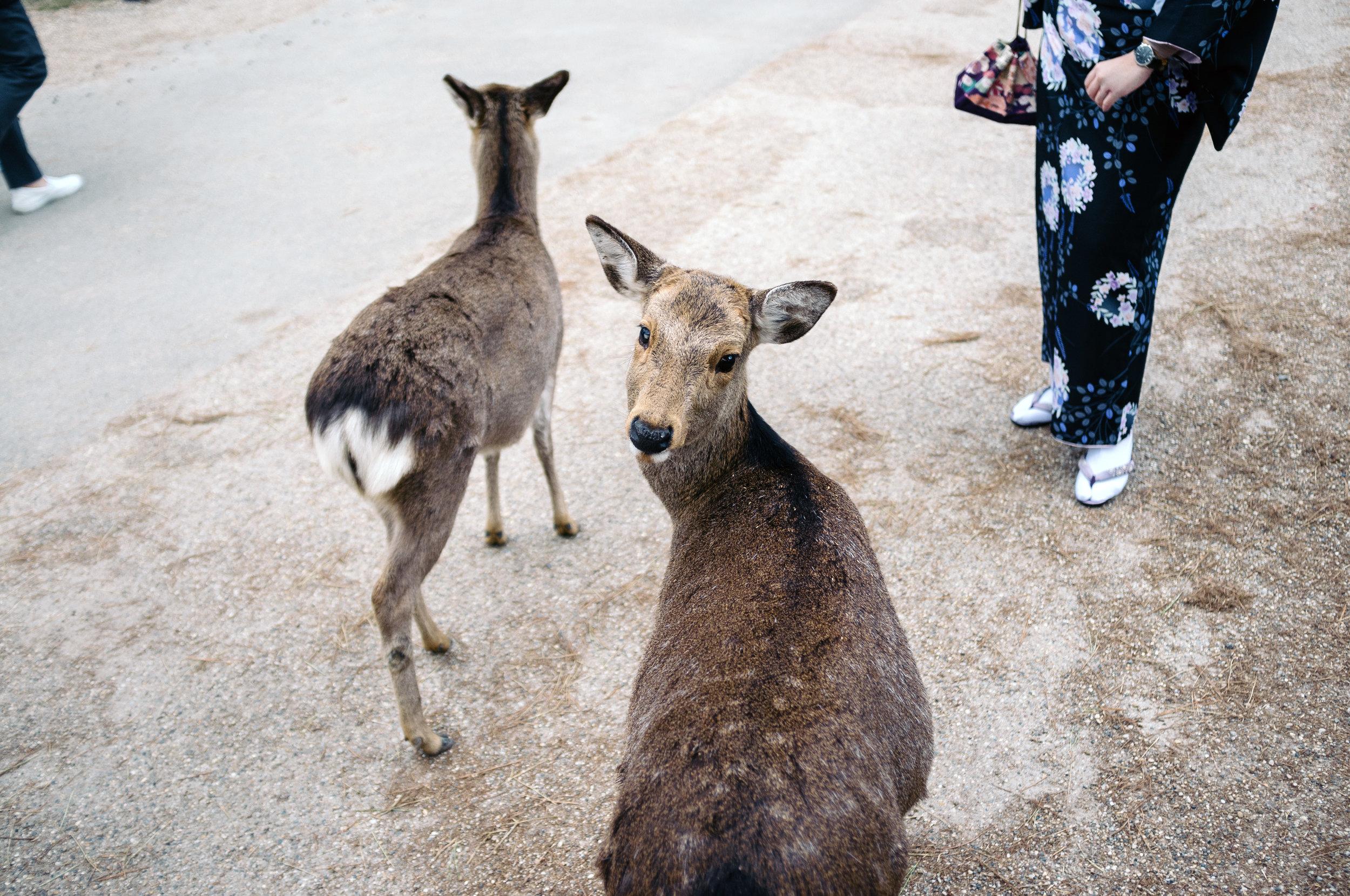Nara Deer 3.jpg