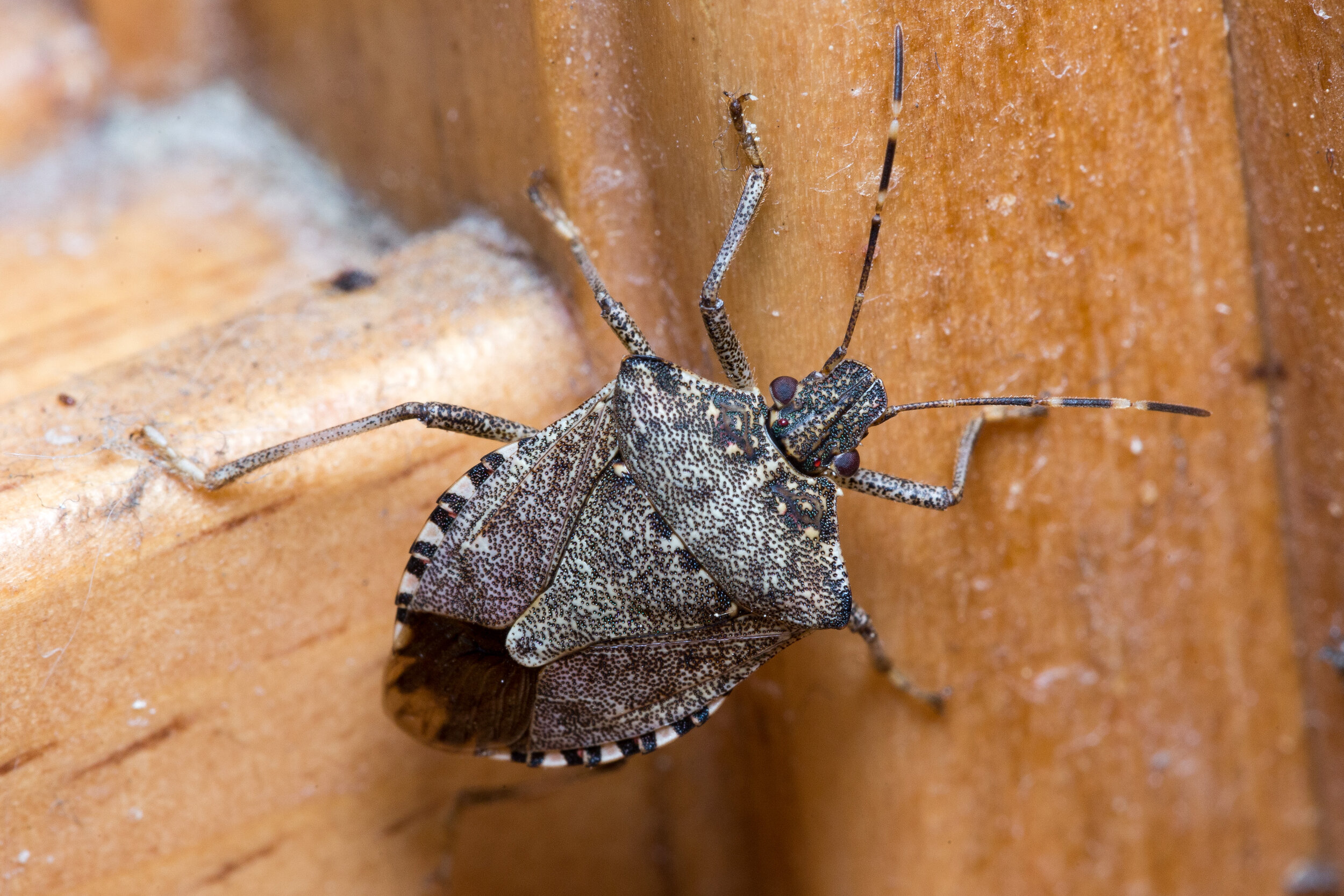 Brown marmorated stink bug (Halyomorpha halys).jpg