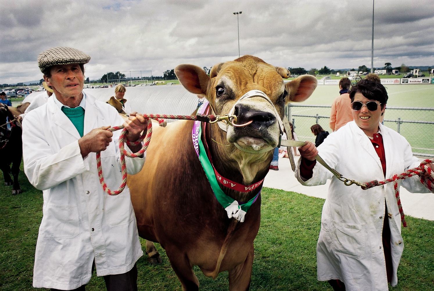 AP-Show-Cow-Wellington-photographer-Paul-Fisher.jpg
