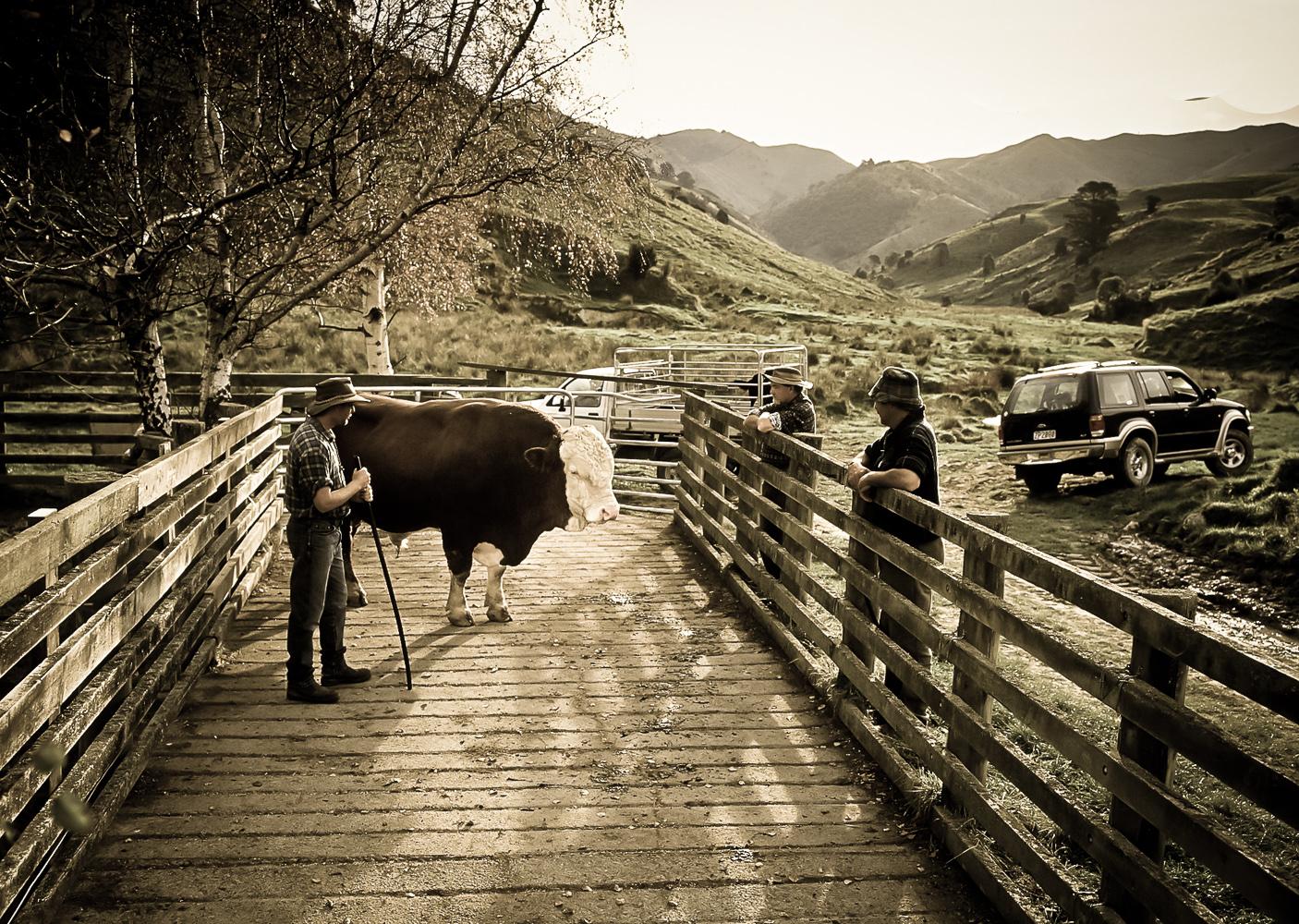 farm-bull-buy-Wellington-photographer-.jpg