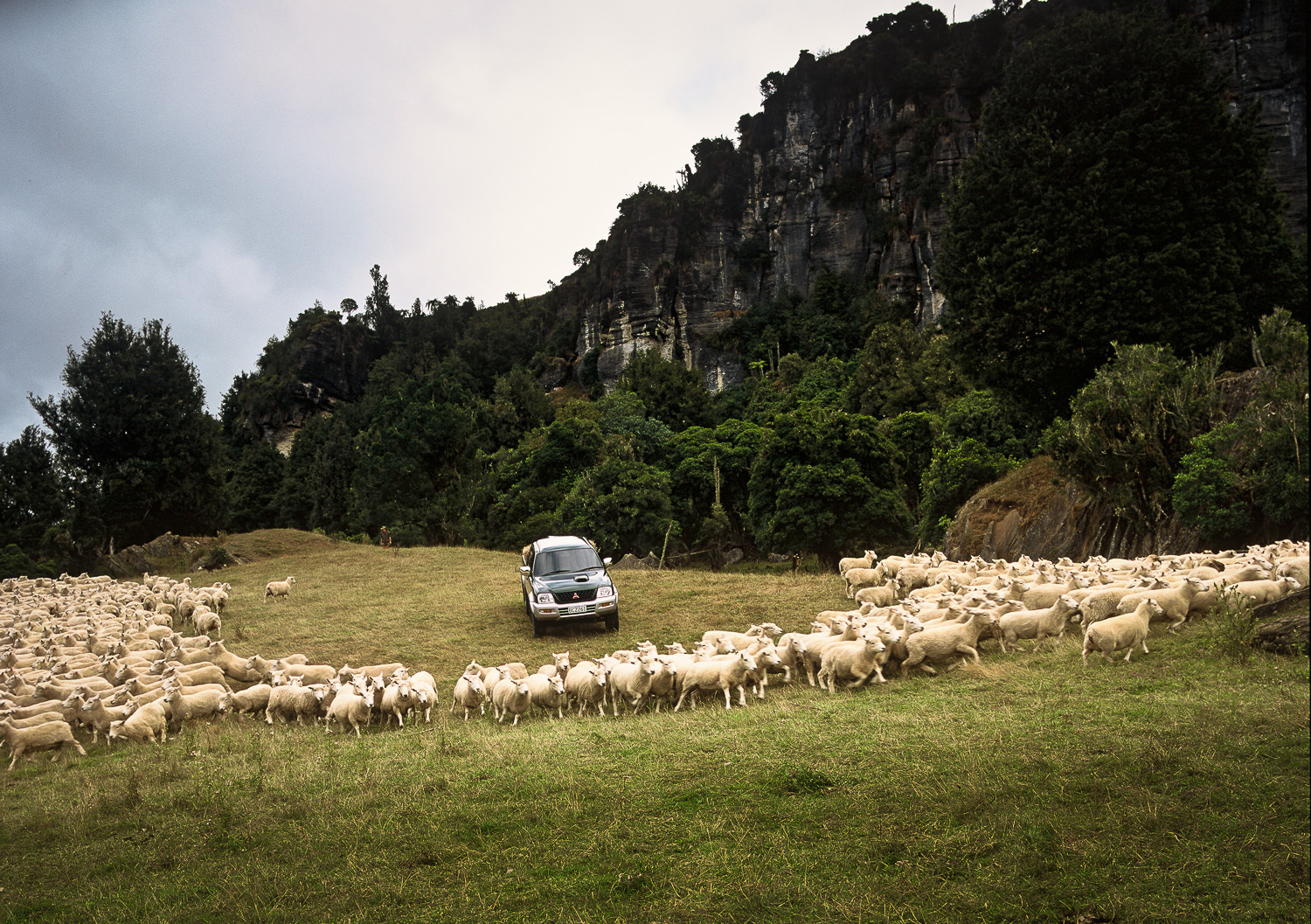 Farmer herding sheep in ute.