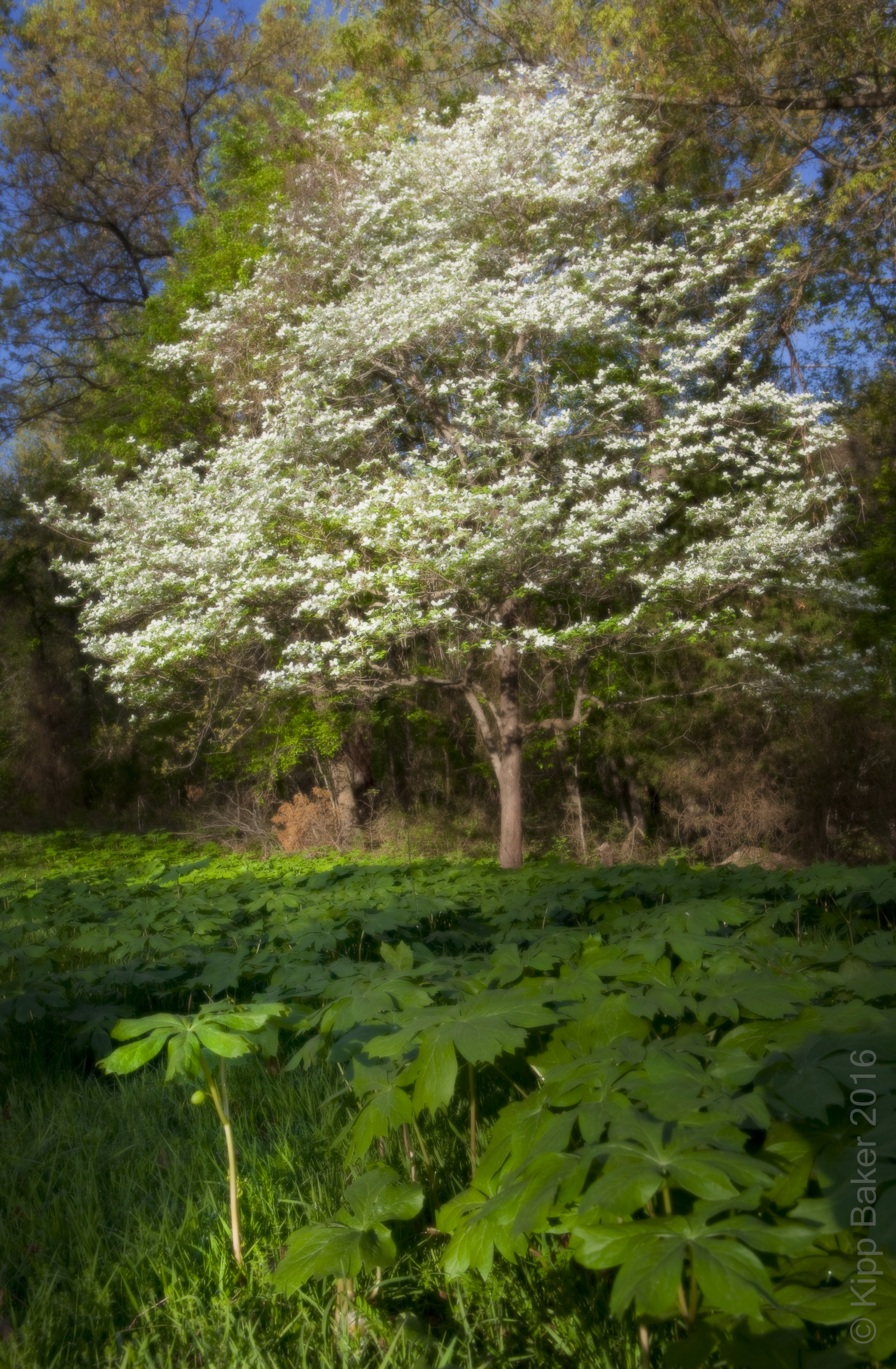 Dogwood tree in April, Near Whitefield, Oklahoma Copyright © Kipp Baker, All rights reserved.