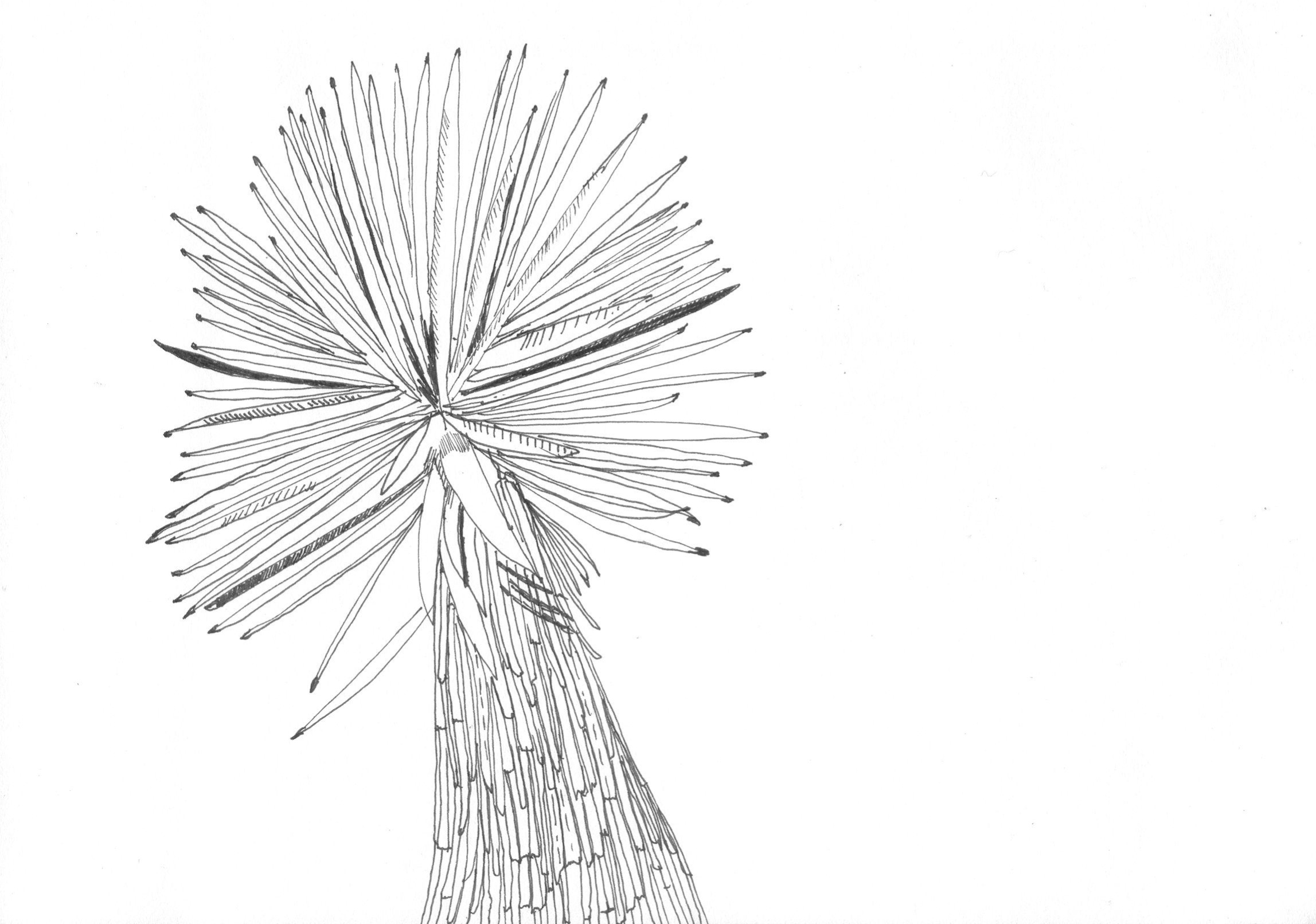 yucca; drawing by Lisa Schonberg. From Fieldguided II: Joshua Tree.