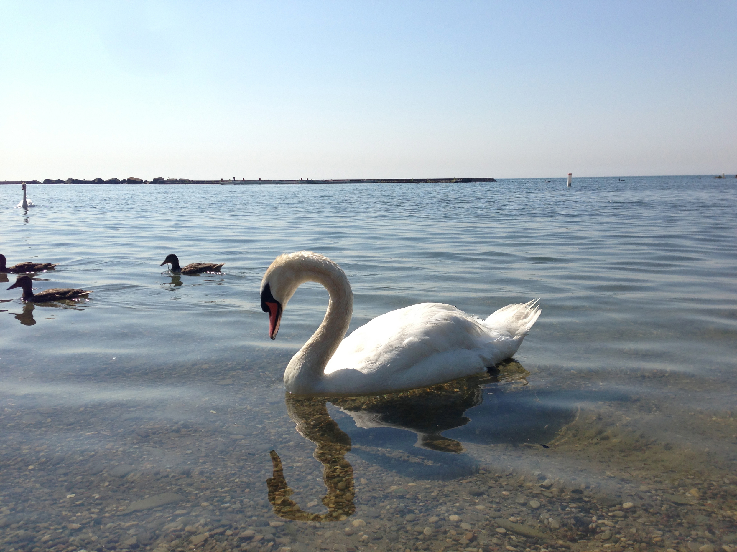 Swans and other waterfowl in bacteria-laden water post-flood. Photo courtesy of Lake Ontario Waterkeeper. July 16, 2013.