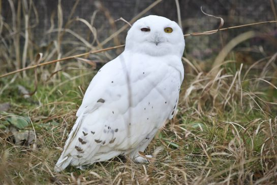 Snowy owl saying hello. (Photo by David Cooper)