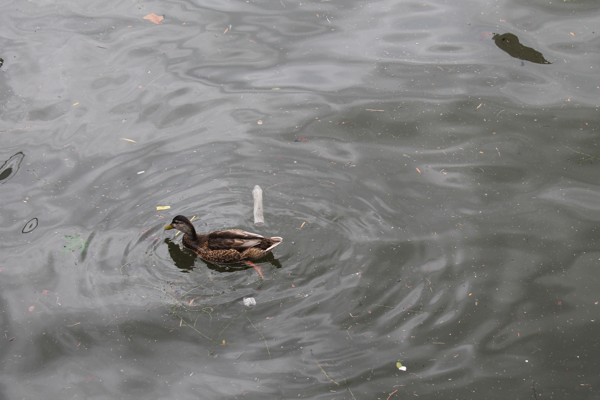 Duck swimming by floating condom. (Image by Lake Ontario Waterkeeper)