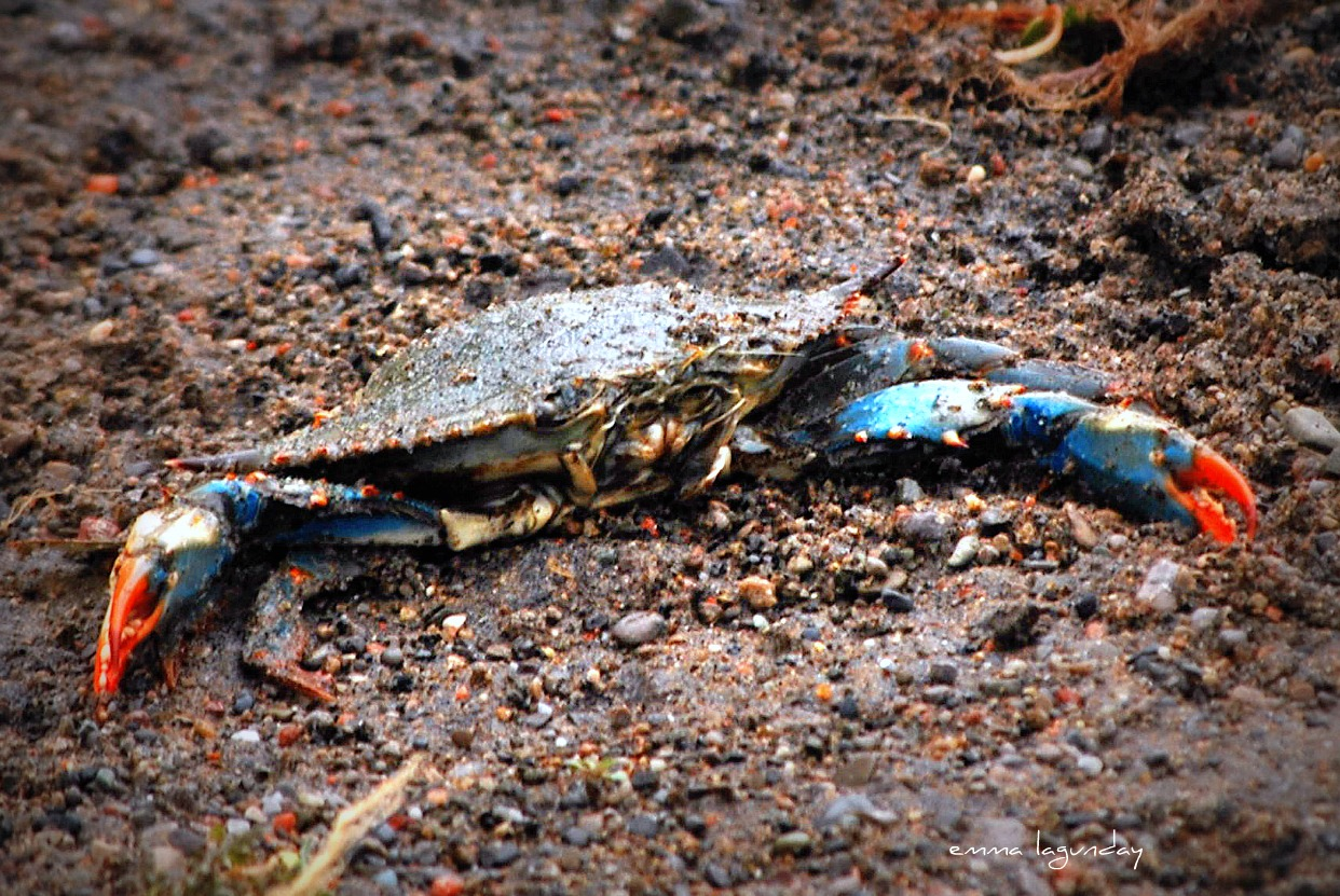 A Blue Crab spotted on the shores of Lake Ontario. Photo by    Emma Lagunday