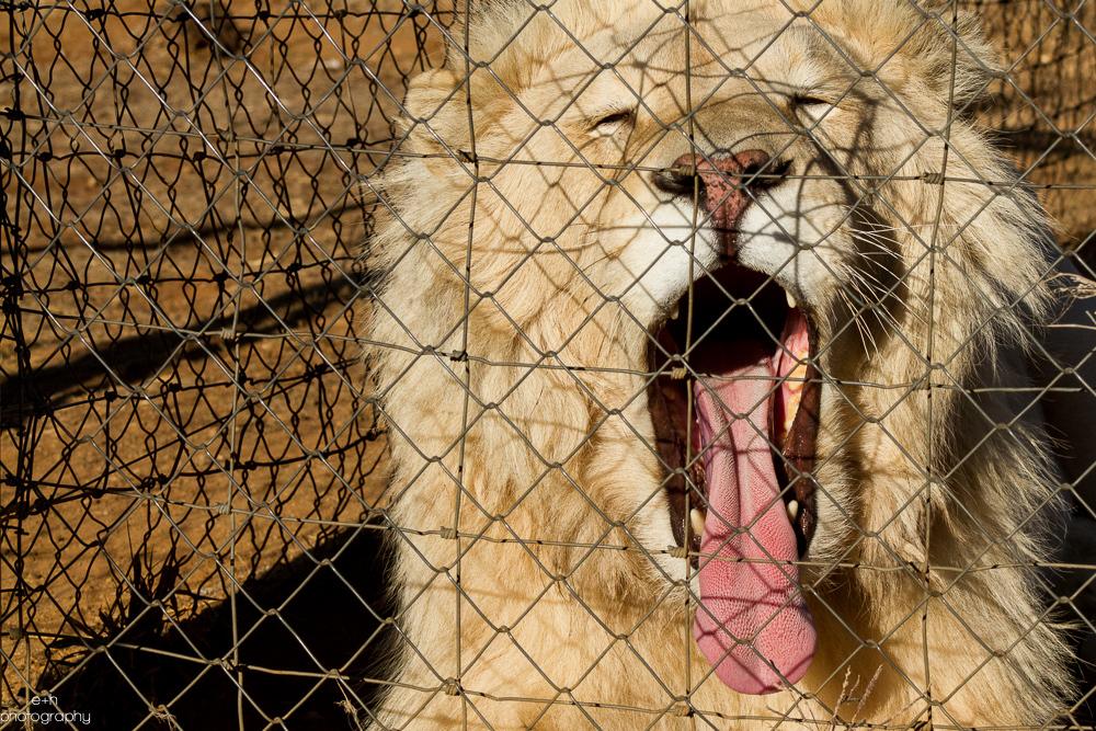 Sleepy Lion - Bloemfontein, South Africa