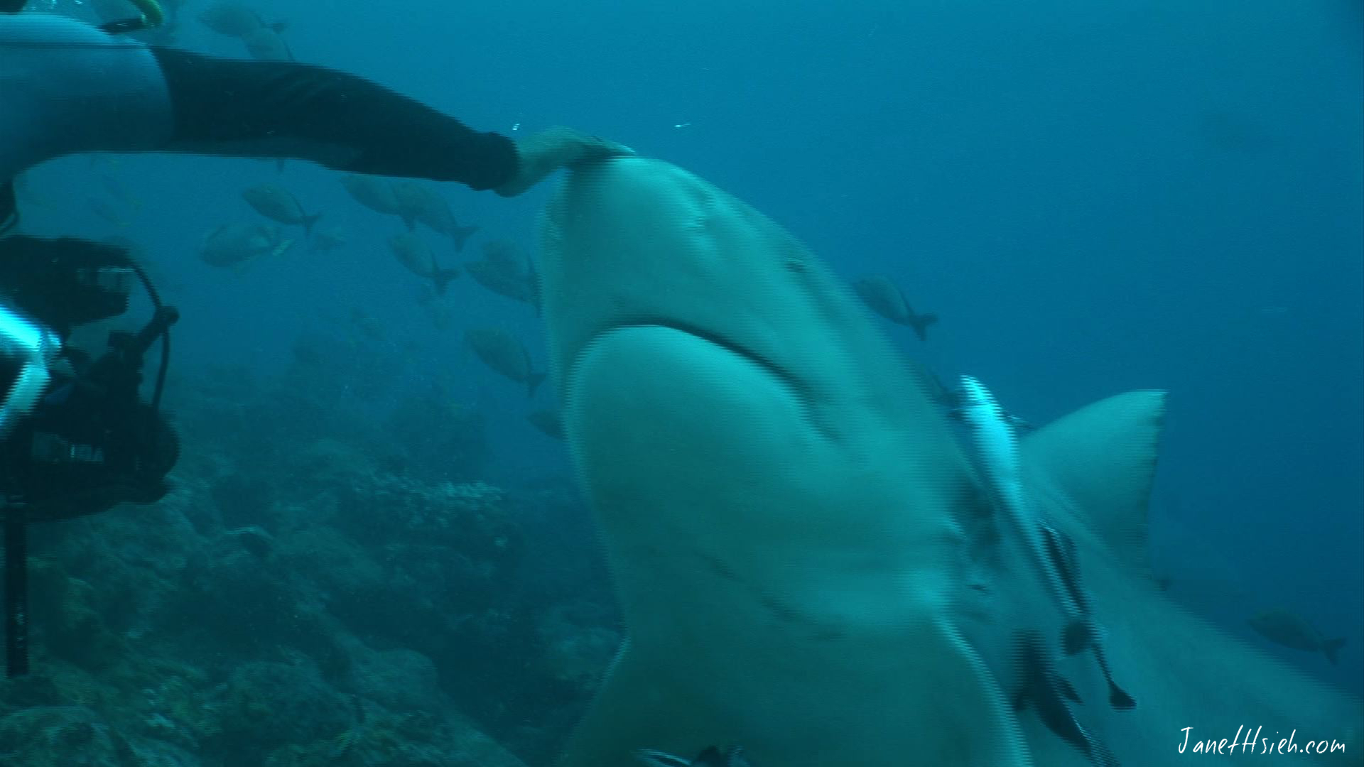 Swimming with sharks in Fiji
