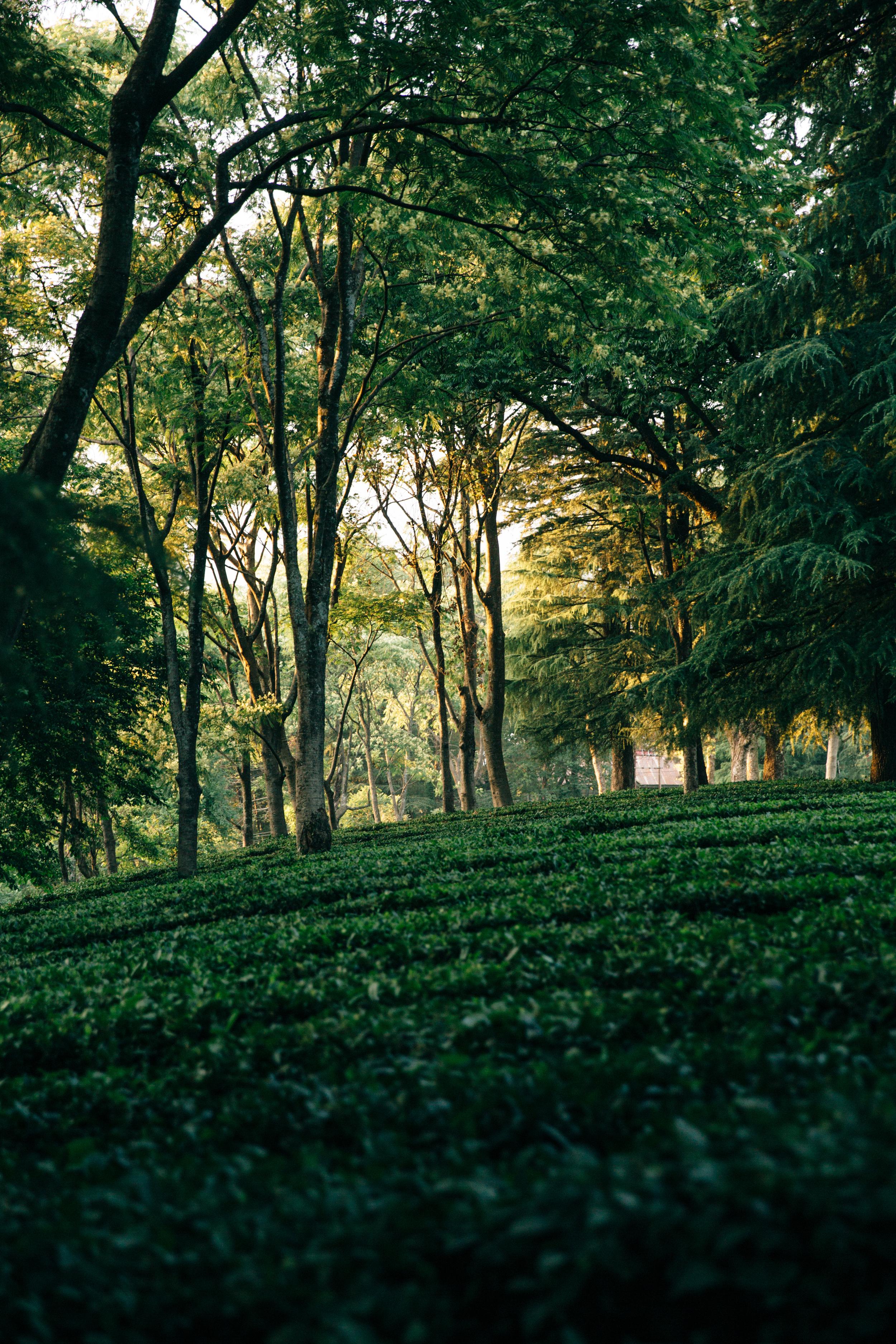 Tea gardens in Dharmshala, India.