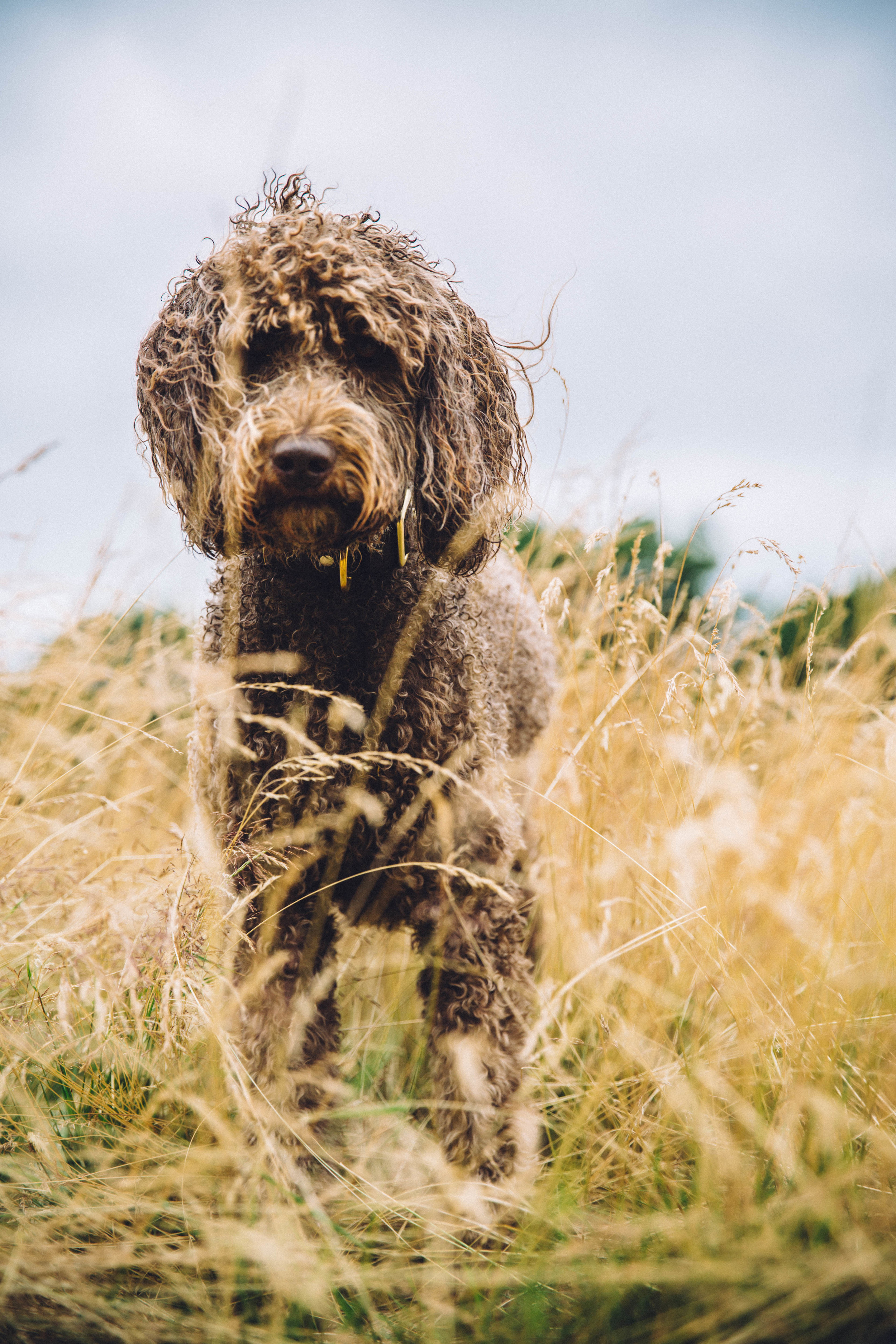 Labradoodles in the wild