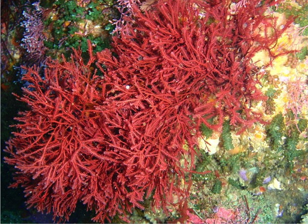 Coraline Red Algae. Photo: Peter Southwood 2012. Source: Wikimedia Commons.