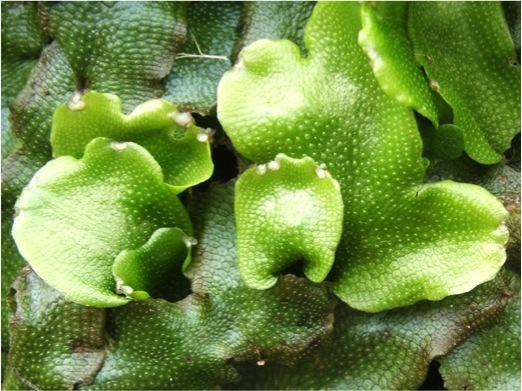 Thallose liverwort. The thallus is the ribbon-like leaves of the plant. Photo:Lairich Rig2007. Source: Wikimedia Commons.