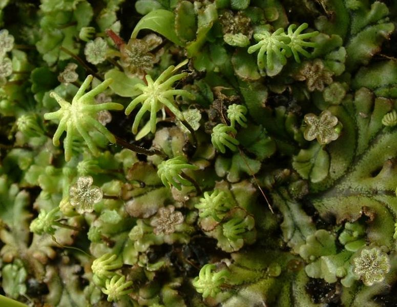 The star-shaped structures are the archaegonial heads of a thallose liverwort. The archaegonia hold fertilized spores, whereas the antheridial head holds sperm.  Photo: J.F Gaffard 2004. Source: Wikimedia Commons.