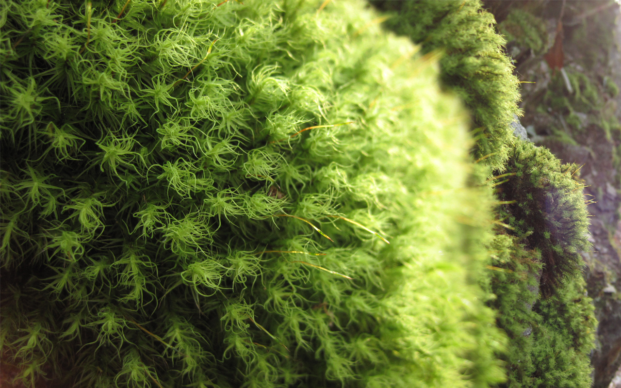 Close up of moss vegetative structures