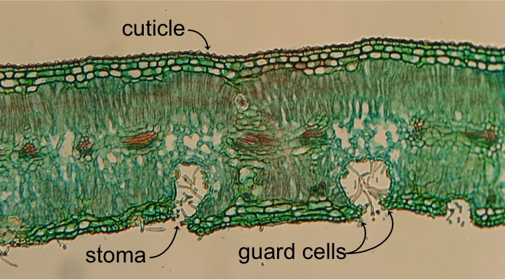 The earliest embryophytes made the transition from water to land. This transition required three important morphological adaptations: the cuticle, guard cells, and spores. Photo: Lord of Konrad 2010. Source: Wikimedia Commons.