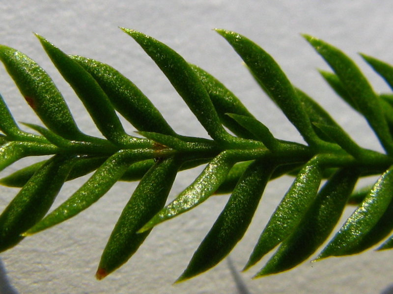 Close up of club moss microphyll