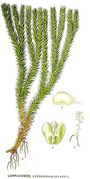 Illustration of a club moss