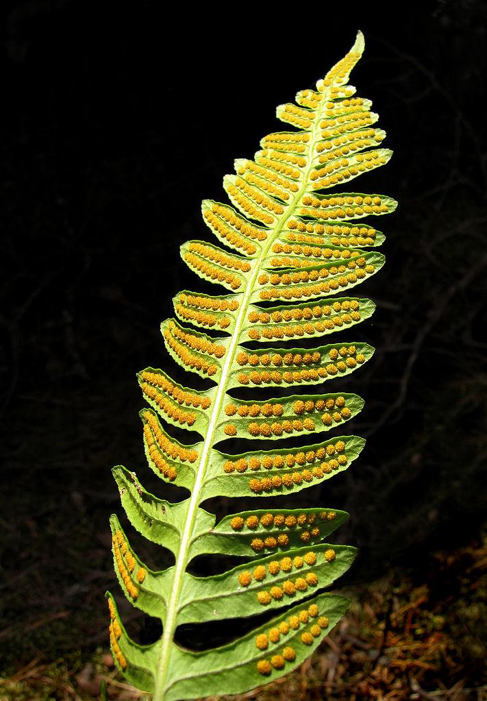 Sori of a fern
