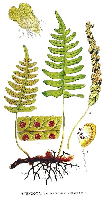 Illustration of Polypodium vulgare