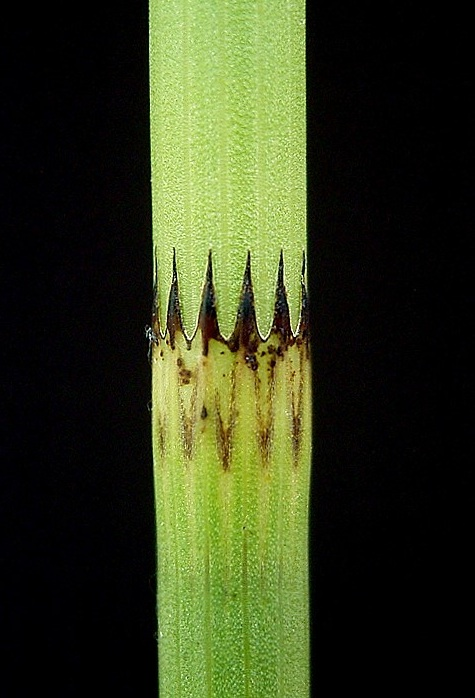 Close up of a horsetail (Equisetum fluviatile) with reduced megaphylls. Photo: Frank Vincetz 2009. Source: Wikimedia Commons.