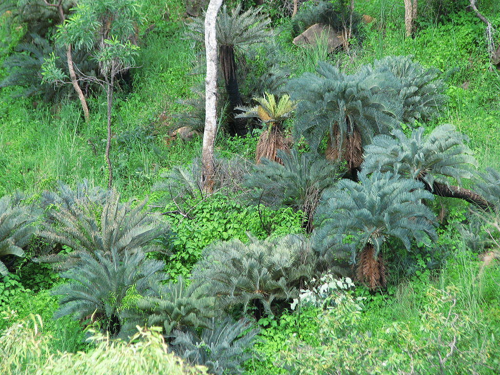 Cycads typically live in moderately moist environments.  Cycas  platyphylla. Photo: tanetahi 2010. Source: Wikimedia Commons.