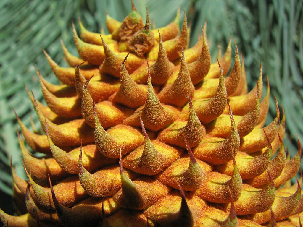 Male cones of cycads produce pollen (sperm). Cycas platyphylla. Photo: tanetahi 2010. Source: Wikimedia Commons.
