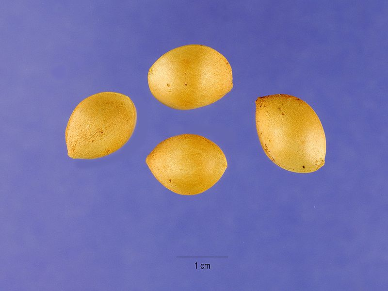 Seeds of Ginkgo biloba