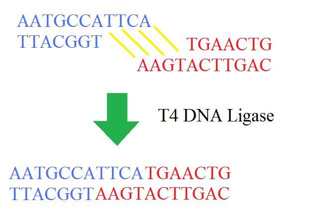 Ligase binds Okazaki fragments together.