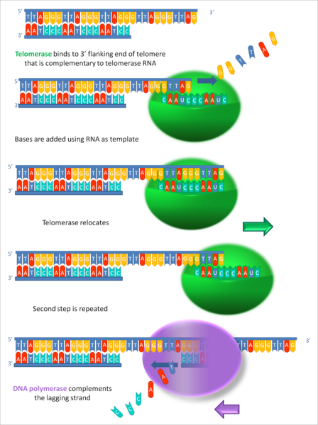 Telomerase extends the ends (telomeres) of the lagging strand.
