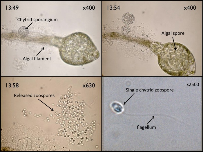 Some chytrids are parasites on algae. The big structure in picture 1 and 2 is a unicellular alga and the little small sphere is the zoosporangium (fruiting body of the chytrid fungus. When the zoosporangium opens, it releases zoospores. Chytrid zoospores are unique as they are the only ones that have a whip-like flagellum. They use this flagellum to swim in water in attempt to find a host. Once they find a host, the flagellum retracts and the chytrid will begin to parasitize its new host. eventually developing a new zoosporangium.