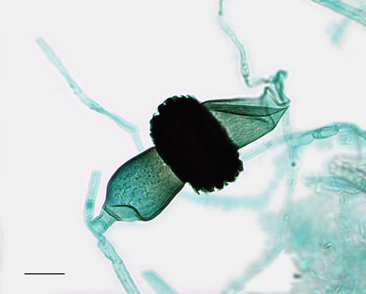 When two asexual sporangia of different individual zygomycetes come in contact with each other, the sporangia fuse and sexual reproduction occurs between the haploid gametes.