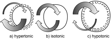 Osmotic conditions of cells. a) If cells lose more water than they absorb, they are in a hypertonic state. b) Cells that maintain an osmotic balance are isotonic. c) If a higher concentration of water is outside of the cell, the cell will absorb more water than it releases, creating a hypotonic state.