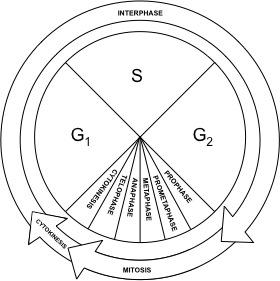 The Cell Cycle of Eukaryotes: Interphase, Mitosis, Cytokinesis